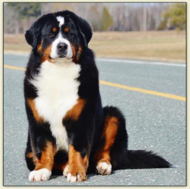 Adoption Bernese Mountain Dog Puppies